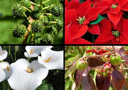 Conheça as principais plantas tóxicas