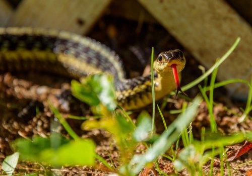 O que fazer se você ver uma cobra no seu quintal?
